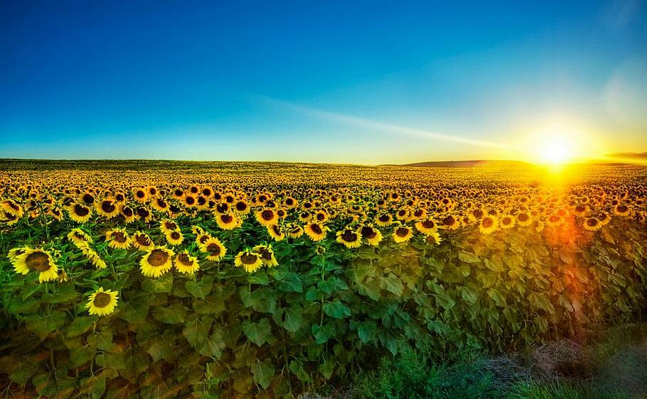collective sunflowers in nature with sun